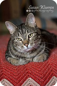 Domestic Shorthair Cat for adoption in Albuquerque, New Mexico - Jasper