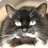Domestic Longhair Cat for adoption in Medfield, Massachusetts - Bitzy