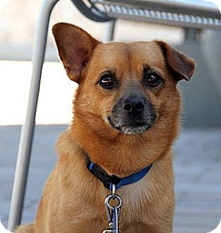 Corgi Mix Dog for adoption in Vista, California - Archer
