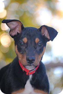 Labrador Retriever Mix Puppy for adoption in Denver, Colorado - Tiny