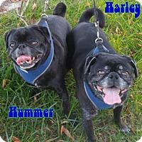 Pug Dog for adoption in Garner, North Carolina - Harley