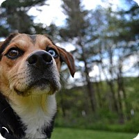 Beagle/Basset Hound Mix Dog for adoption in Enfield, Connecticut - Rebel
