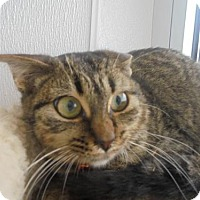 Domestic Shorthair Cat for adoption in Livonia, Michigan - C19 Litter-Igor-PENDING ADOPTION