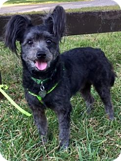 Poodle (Miniature)/Papillon Mix Dog for adoption in Davie, Florida - Truman