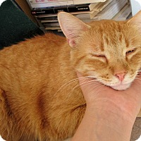 Domestic Shorthair Cat for adoption in Grinnell, Iowa - Leo