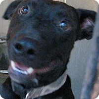Labrador Retriever Mix Dog for adoption in Tahlequah, Oklahoma - Buddy
