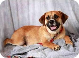 Boxer/Pug Mix Dog for adoption in St. Louis, Missouri - Joe Boxer Puggle
