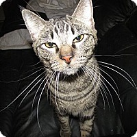 Domestic Shorthair Cat for adoption in Edmond, Oklahoma - Peter