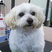 Adopt A Pet :: 2 girl Bichons! - Seattle, WA