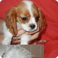 Adopt A Pet :: Clarissa ADOPTION PENDING!! - Antioch, IL