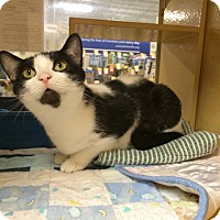 Domestic Shorthair Cat for adoption in Maryville, Tennessee - Stella