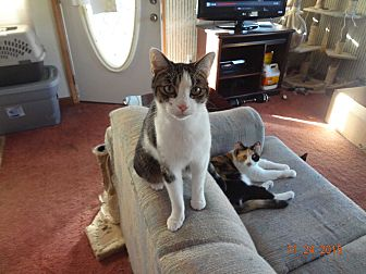 Domestic Shorthair Cat for adoption in Saint Albans, West Virginia - Taylor