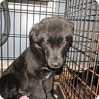 Adopt A Pet :: Kaiser - Rocky Mount, NC
