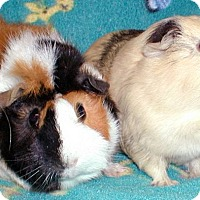 Adopt A Pet :: Prim - Steger, IL