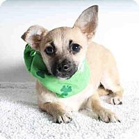 Adopt A Pet :: Maddie - Mitzi's Pup - Encino, CA