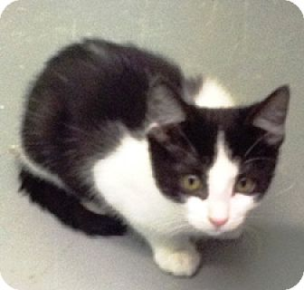 Domestic Mediumhair Cat for adoption in Fort Benton, Montana - Picasso