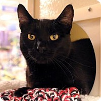 Domestic Shorthair Cat for adoption in Bellevue, Washington - Sargeant