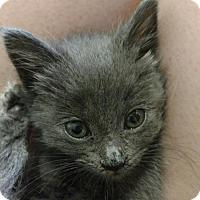Adopt A Pet :: ASHLEY - Lakewood, CA