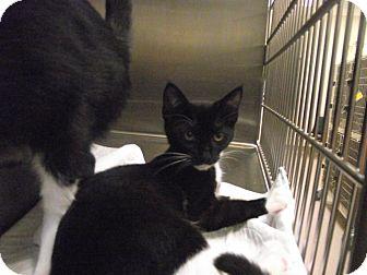 Domestic Shorthair Kitten for adoption in Chambersburg, Pennsylvania - Liza