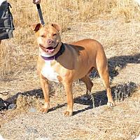 Adopt A Pet :: Chewie - Gardnerville, NV