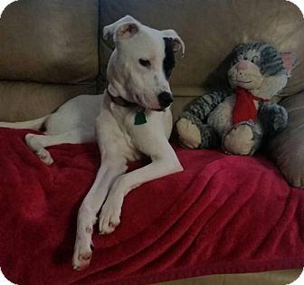 Pit Bull Terrier/Hound (Unknown Type) Mix Dog for adoption in Hazlet, New Jersey - Harry