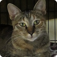 Domestic Shorthair Cat for adoption in Jackson, Missouri - PANSY