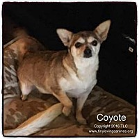 Adopt A Pet :: Coyote - Simi Valley, CA