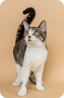 Domestic Shorthair Cat for adoption in Wyandotte, Michigan - Leona