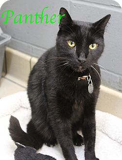 Domestic Shorthair Cat for adoption in Bradenton, Florida - Panther