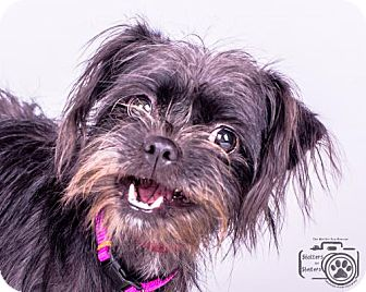 Brussels Griffon/Affenpinscher Mix Dog for adoption in Colorado Springs, Colorado - Bridget