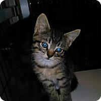 Domestic Shorthair Kitten for adoption in Elk Grove, California - BOODLE