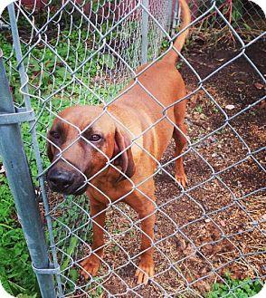 Redbone Coonhound Dog for adoption in Portland, Indiana - Red