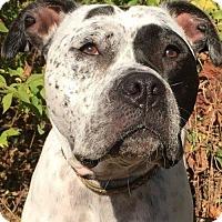 American Bulldog/Pointer Mix Dog for adoption in Kansas City, Missouri - Marshall