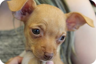 Chihuahua Mix Puppy for adoption in Flemington, New Jersey - Peaches