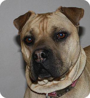 Shar Pei/Mastiff Mix Dog for adoption in Tillsonburg, Ontario - Mylee