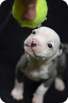 English Bulldog Mix Puppy for adoption in Manhattan, New York - Donovan