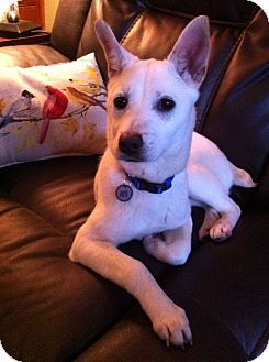 Spitz (Unknown Type, Medium)/Jindo Mix Puppy for adoption in Smithtown, New York - Mercury