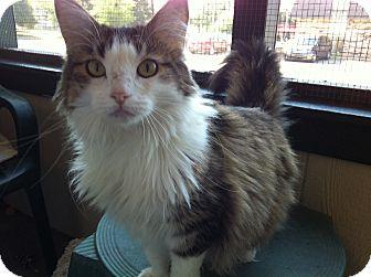 Domestic Longhair Cat for adoption in Topeka, Kansas - Maddee