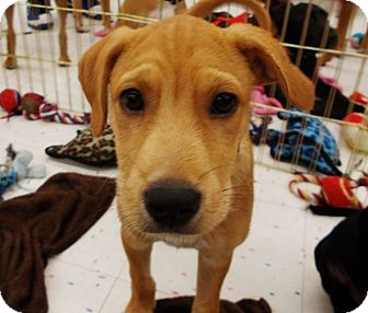 Labrador Retriever/Terrier (Unknown Type, Medium) Mix Puppy for adoption in Silsbee, Texas - Toby