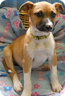 Boxer/Jack Russell Terrier Mix Puppy for adoption in River Falls, Wisconsin - Bill