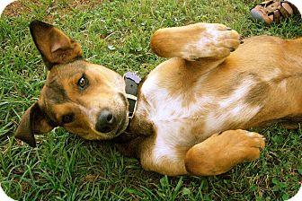Labrador Retriever/Mountain Cur Mix Puppy for adoption in Marietta, Georgia - Jasper