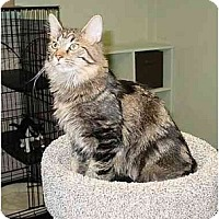 Domestic Mediumhair Cat for adoption in Bartlett, Illinois - Jake