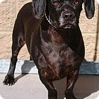 Adopt A Pet :: Phoenix - Gilbert, AZ