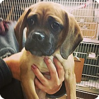 Adopt A Pet :: Duke - bridgeport, CT