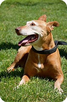 Vizsla/Labrador Retriever Mix Dog for adoption in Midland, Texas - Marrieta