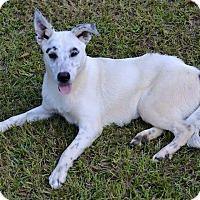 Adopt A Pet :: pippin - SOUTHINGTON, CT