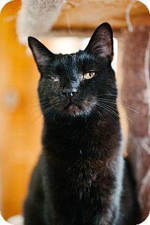 Domestic Shorthair Cat for adoption in Lexington, Kentucky - Coal