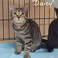 Adopt A Pet :: Daisy - Ocean City, NJ
