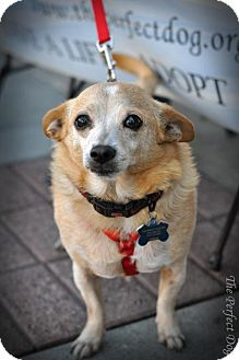 Chihuahua Mix Dog for adoption in Milpitas, California - Oscar