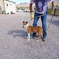 Adopt A Pet :: Chaps - Golden Valley, AZ